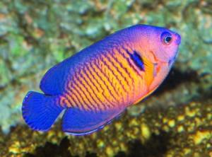 bispinosus